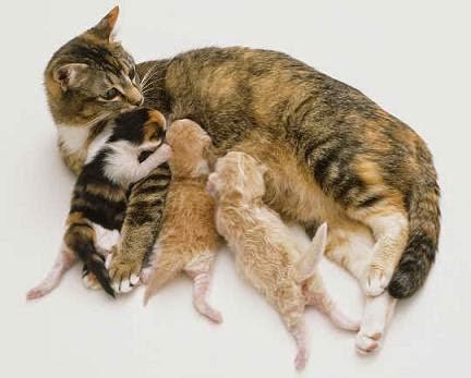 Chu kỳ động dục và sự sinh sản ở loài mèo